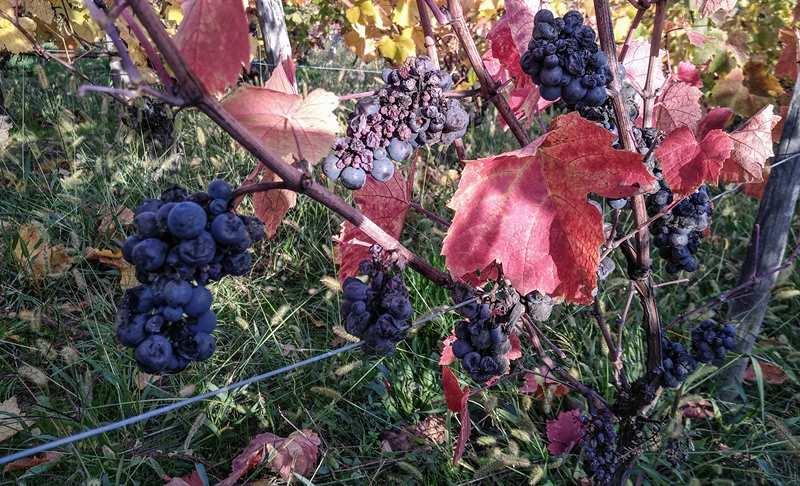 Vin liquoreux Gamay - Domaine Marc JAMBON et Fils - PIERRECLOS